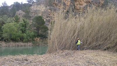Un operario usa una moto-desbrozadora manual para eliminar una zona de cañas a orillas del río Segura, en una acción del proyecto LIFE+ Ripisilvanatura (foto: Ricardo Zarandona / Typsa).