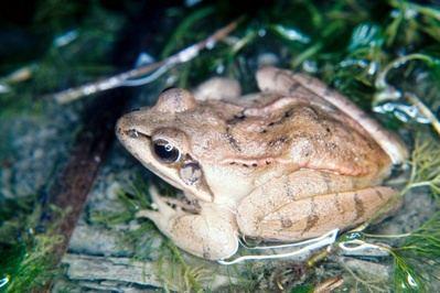 Macho de rana ágil. La amplitud del tímpano y su proximidad al ojo, así como la coloración dorsal típica, beige claro, son rasgos característicos de esta especie (foto: Alberto Bergerandi).