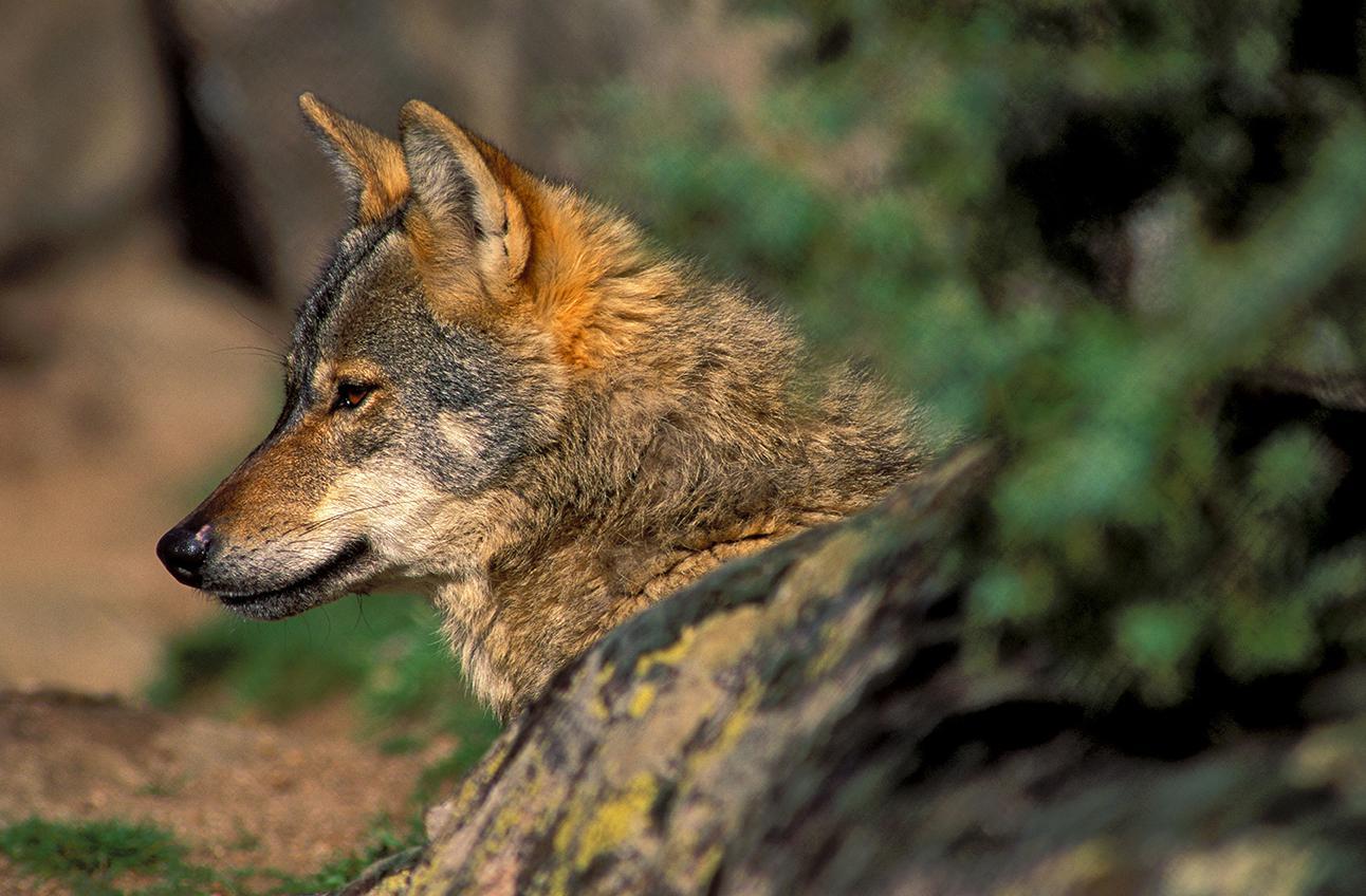Un estudio indica que el lobo podría conllevar una mejor calidad de los trofeos de caza