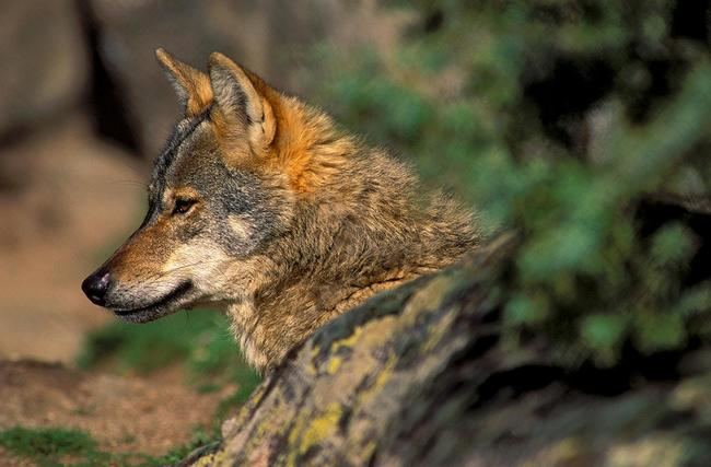 Primer plano de un lobo ibérico en cautividad (foto: Jorge Sierra).