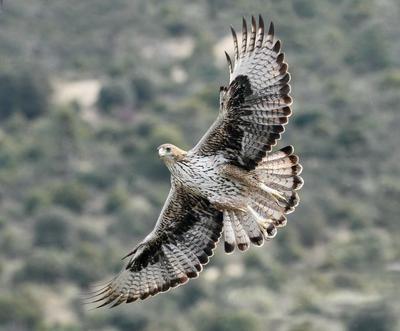 El macho de águila de Bonelli Bélmez, en vuelo. Este ejemplar forma parte de la primera pareja reintroducida de su especie que ha logrado criar en la Comunidad de Madrid (foto: Sergio de la Fuente / Grefa).