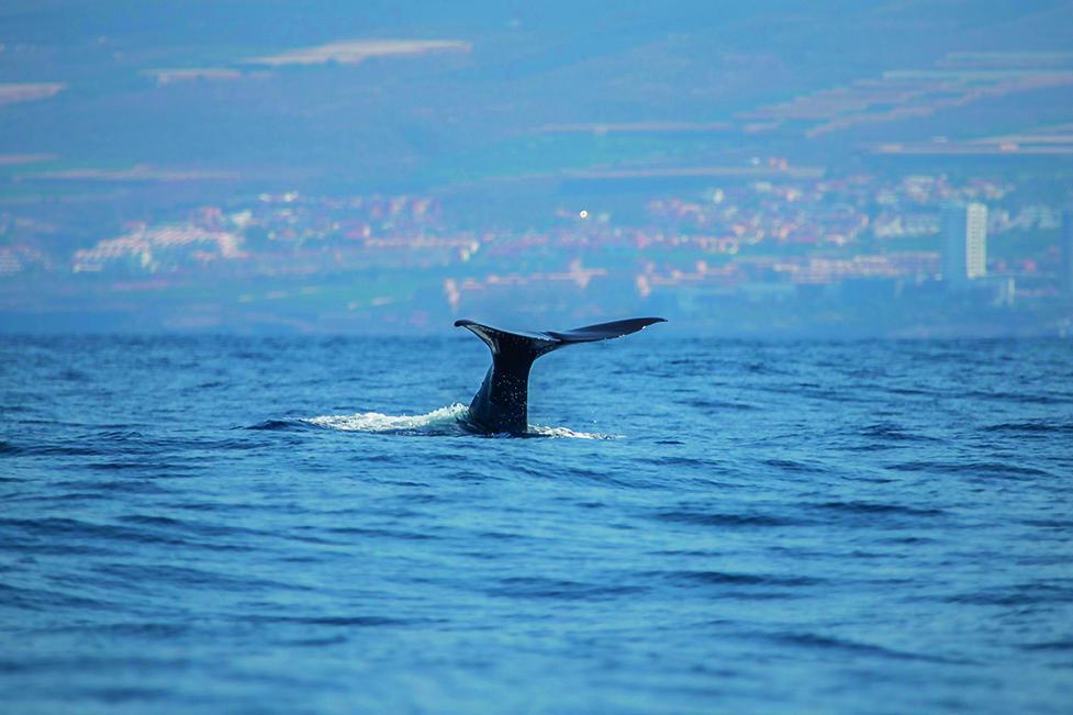 Proponen medidas para reducir las colisiones de cetáceos