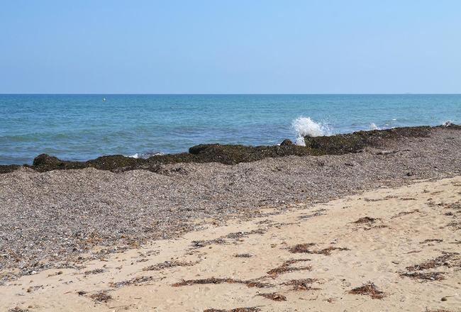 Acumulación de hojas secas de posidonia en una playa de Denia (Alicante). Foto: Joanbanjo / Wikicommons.
