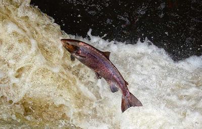 Un salmón salta fuera del agua para remontar un río (foto: Mark Caunt / Shutterstock).