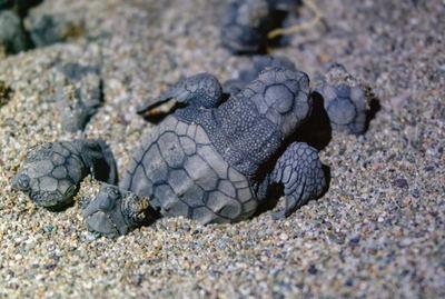 Varias crías de tortuga boba emergen de su nido en una playa de puesta de la especie (foto: Igor Batenev / Shutterstock).