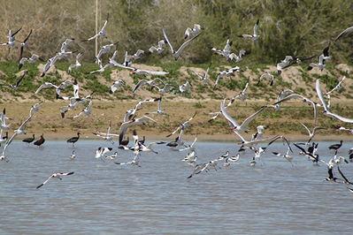 Grupo de diversas especies de aves, entre ellas pagazas piquirrojas, avocetas comunes, cigüeñuelas comunes y moritos, en el vaciadero de Butano, en el bajo Guadalquivir (foto: Javier Manzano).