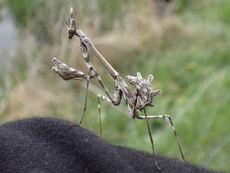Mantis de la especie Empusa pennata, fotografiada en el Biomaratón 2019 en Pamplona (foto: Txalen Galina Gaiton).