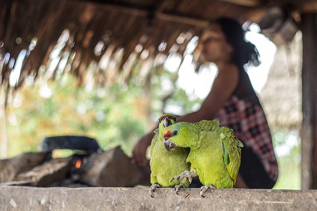 Dos ejemplares de amazona festiva mantenidos en una comunidad indígena en Perú (foto: Juan Carlos Huayllapuma / CIFOR).