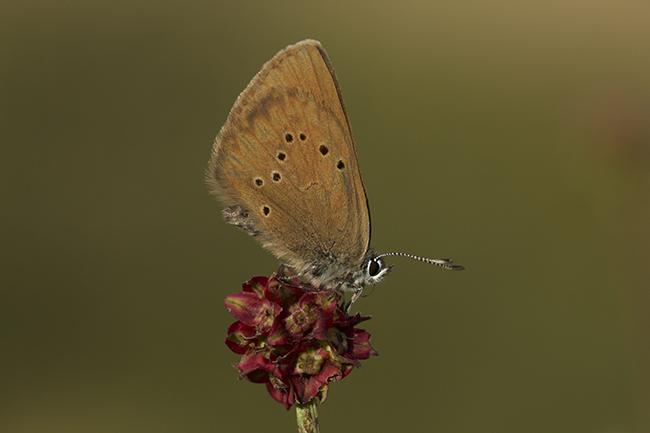 Mariposa hormiguera oscura sobre Sanguisorba officinalis, su planta nutricia.