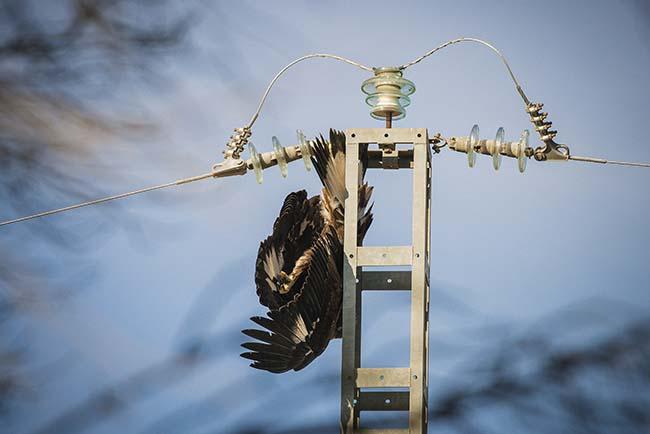 Un águila real cuelga sin vida del apoyo de un tendido eléctrico de la provincia de Albacete, tras haberse electrocutada. Foto: Juan A. Tabernero (jakometa).