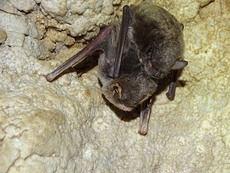 Ejemplares de murciélago de cueva y murciélago ratonero patudo, uno encima de otro, en la ZEC 'Cueva de las Yeseras' (Santomera, Murcia). Foto: Anse.