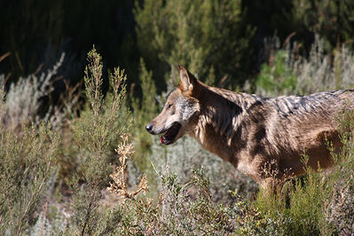 Un lobo fotografiado en condiciones de semi-libertad se detiene a observar el entorno (foto: Jesús Cobo).