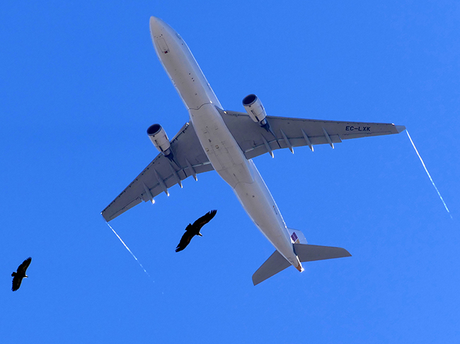 Colisión entre aves y aeronaves: los buitres como caso de estudio