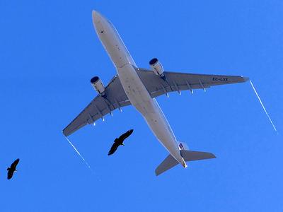 Dos buitres leonados vuelan cerca de un Airbus 330 poco después de despegar del aeropuerto de Madrid-Barajas (foto: Álvaro Camiña).