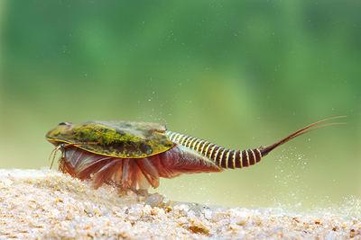 El pequeño crustáceo branquiópodo Triops cancriformis es una especie emblemática de los estanques temporales mediterráneos y una de las más beneficiadas por la restauración del Lavajo del Tío Bernardo en Sinarcas, provincia de Valencia (foto: Benjamín Albiach).