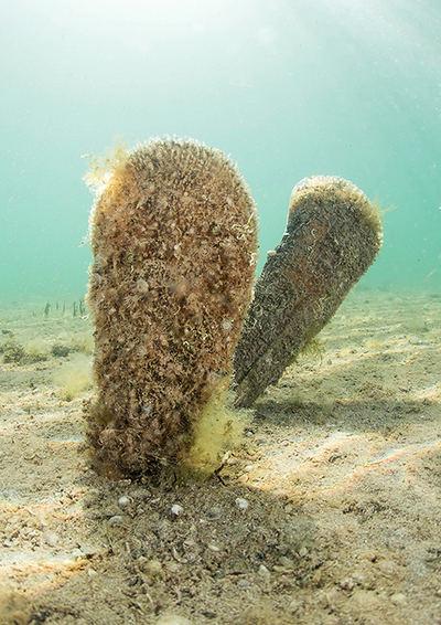 Nacras pertenecientes a la población del Mar Menor, en el litoral murciano (foto: F. Javier Murcia)