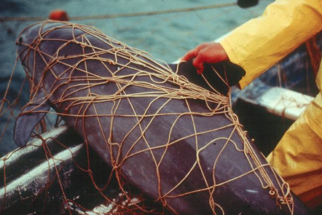 Vaquita atrapada en una red de pesca en el Alto Golfo de California en los años noventa (foto: Christian Faesi y Omar Vidal / Archivo NOAA Fisheries West Coast).