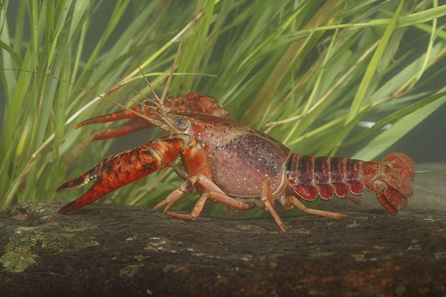Ejemplar de cangrejo rojo americano bajo el agua (foto: José Luis Gómez de Francisco).