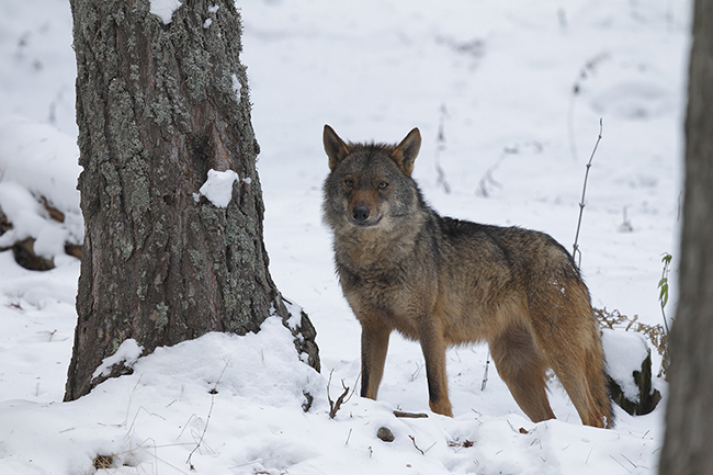 Aviso a navegantes: matar lobos en el País Vasco será un delito