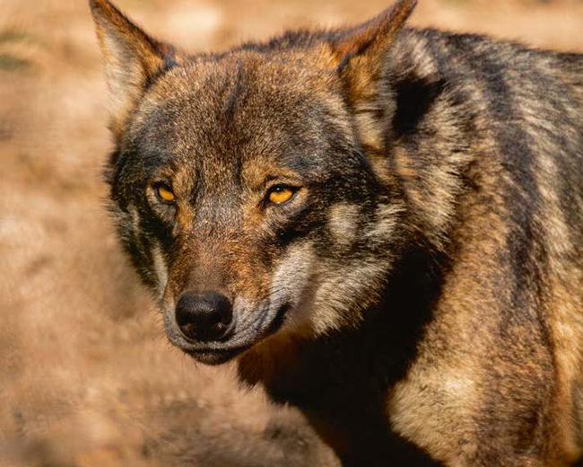 El lobo ibérico es el protagonista del documental de Chisco Lema (foto: Carlos Calvo / Shutterstock).