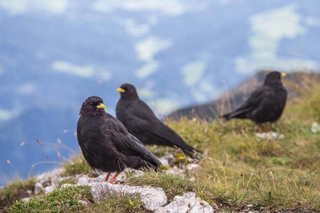 Varias chovas piquigualdas en un pastizal de montaña de los Alpes de Austria (foto: styko / Wikicommons).