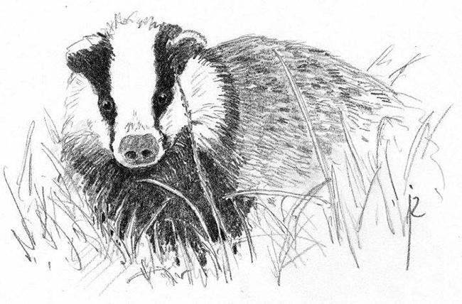 Tejón (ilustración de Jos Zwarts / Wikicommons).