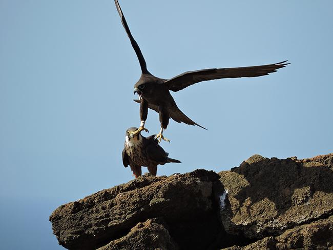 Pareja de halcón de Eleonor defendiendo su nido. El macho, de morfo blanco, permanece posado, mientras que la hembra, de morfo oscuro, levanta el vuelo (foto: Marc Majem Bofill).