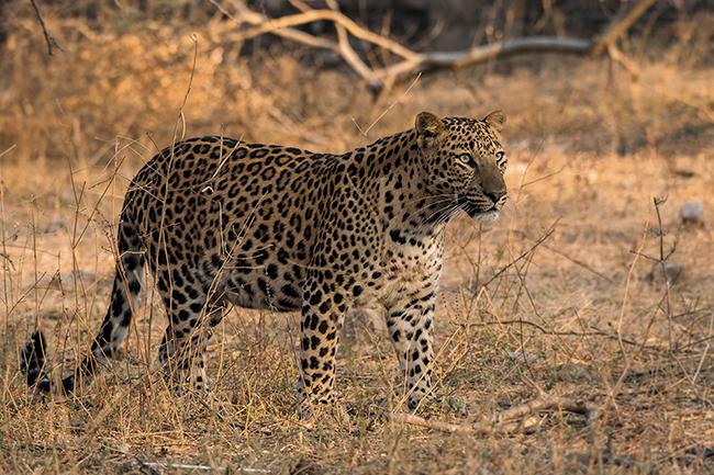 Tras el rastro de leopardos y panteras en la India