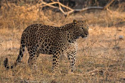 Macho de leopardo perteneciente a la subespecie Panthera pardus fusca, que habita en la India (foto: Sourabh Bharti / Shutterstock).