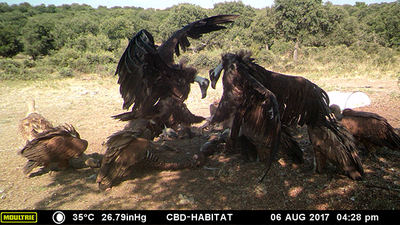 Buitres negros y leonados se alimentan de un cadáver de cabra en un área monitorizada por LIFE Feeding Scavengers mediante fototrampeo (foto: Fundación CBD-Hábitat).