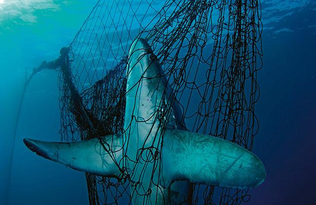 WWF alerta de la situación de los tiburones mediterráneos