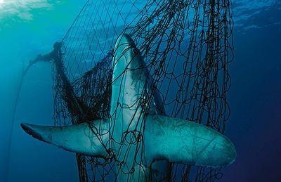 Tiburón zorro atrapado en una red de pesca (foto: Brian Skerry / National Geographic / Stock WWF).