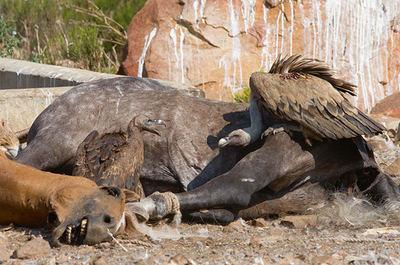 Un juvenil de buitre moteado (a la izquierda), de menor tamaño, comparte la carroña con un buitre leonado en un muladar en Andalucía. Las observaciones de la primera especie en el sur de España se han regularizado, hasta el punto de dejar de ser noticia (foto: Íñigo Fajardo).