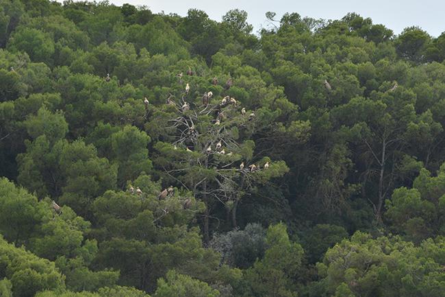 """Alimoches y buitres leonados en los pinos que acogen al mayor número de aves del dormidero afectado por el proyectado parque eólico """"Monlora III"""", en la provincia de Zaragoza (foto: Ansar)."""