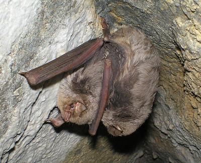 Murciélagos de cueva en el complejo minero de Los Arenales. Pueden estar en cópula o simplemente han adoptado esa postura para conservar mejor la temperatura corporal (foto: Francisco Fernández).