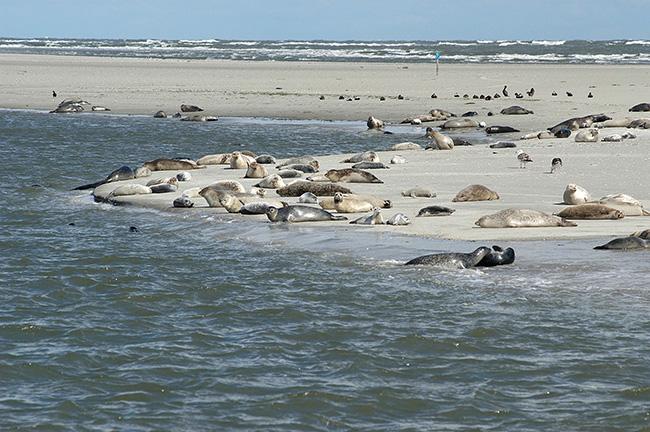 Un grupo de focas comunes de diferentes edades descansan en una extensa playa del Mar de Wadden (foto: CWSS / Klaas Kreuijer).