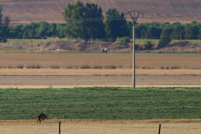 Un lobo intenta cazar un topillo en la comarca castellana de Tierra de Campos, donde el roedor causa daños a los cultivos agrícolas en los años en los que se presenta como plaga. Al fondo a la derecha se divisan dos personas paseando por la zona (foto: Francisco C. Parody).