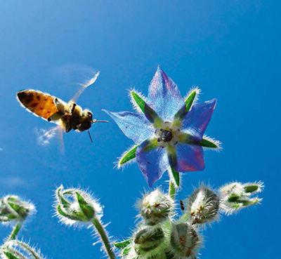 Una abeja se acerca a la flor de una borraja (foto: ueuaphoto / Shutterstock).