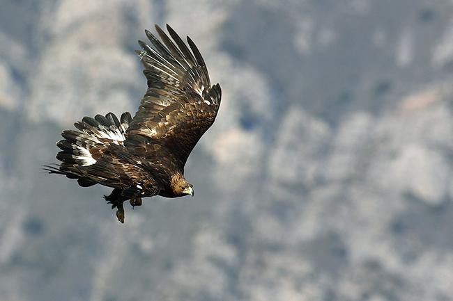 Un águila real se dispone a posarse. Las estructuras donde nidifica esta especie, sobre todo si han estado activas mucho tiempo, tienen un indudable valor de conservación (foto: Eduardo Ruiz Baltanás).