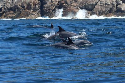 """Delfines mulares fotografiados el pasado 14 de mayo en la ZEC """"Illas Estelas"""", un área de la Red Natura 2000 donde ha trabajado el proyecto TurGaSur (foto: CEMMA)."""