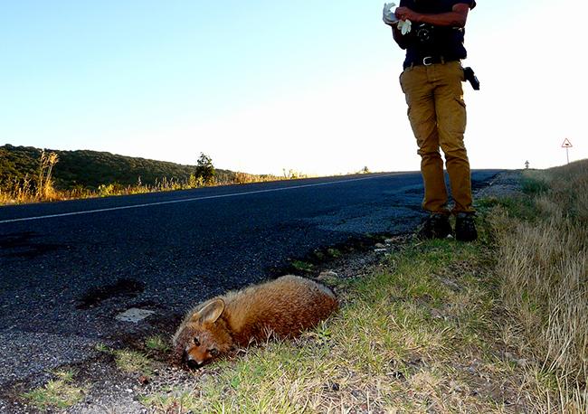 Casi 150 atropellos de fauna en un 'punto negro' segoviano