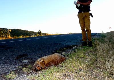 Un naturalista se dispone a la recogida de datos de un zorro atropellado en la carretera SG-500 (foto: Colectivo Azálvaro).