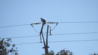 Águila perdicera posada en un tendido eléctrico de diseño peligroso para las aves (foto: Juan José Iglesias / Grefa).