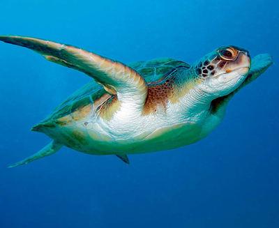 La tortuga boba es una de las especies que ha merecido la atención de la nueva plataforma Aliats per la Biodiversitat (foto: Natursports / Shutterstock).