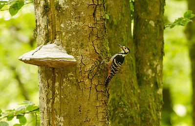 Hembra de pico dorsiblanco aportando una ceba a sus polluelos (foto: Alfonso Senosiain).