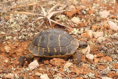 Ejemplar melánico de tortuga mediterránea perteneciente a la población asentada en la parte meridional de Mallorca (foto: Jordi Muntaner).