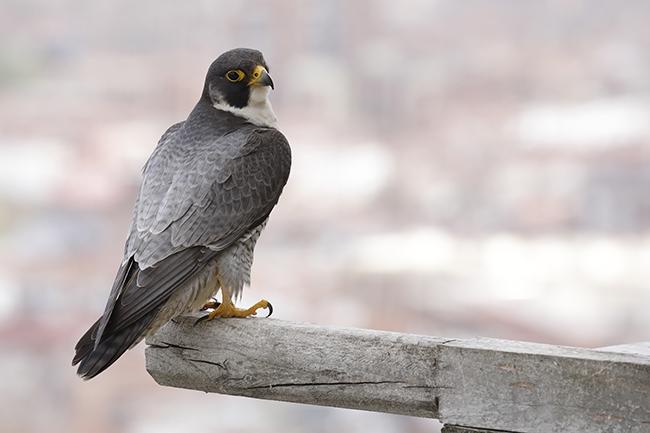 Uno de los halcones peregrinos reproductores que crían en el hospital madrileño Gómez Ulla reposa sobre uno de sus posaderos habituales (foto: Antonio Liébana).