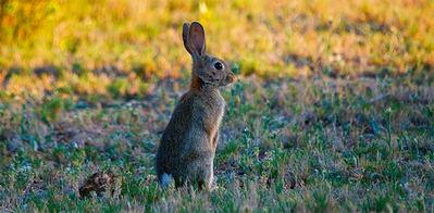 Conejo de monte en un pastizal con vegetación natural (foto: Juan Aceituno / Shutterstock).