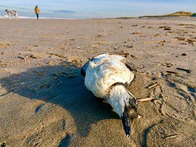 Arao común muerto en una playa. Del análisis de los contenidos estomacales de aves marinas orilladas procedieron parte de los datos del estudio sobre presencia de plásticos realizado en el Golfo de Vizcaya (foto: Andrew Balcombe / Shutterstock).