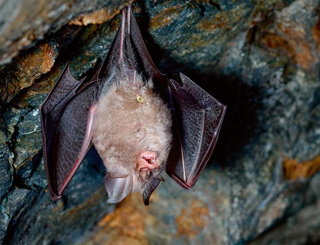 Murciélagos contra las plagas